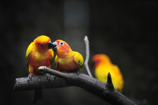 Kostenloses Two Kissing Parrots Wallpaper für Android, iPhone und iPad