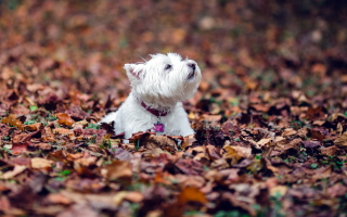 Dog Loves Autumn Wallpaper for Android, iPhone and iPad