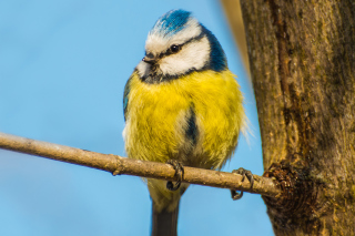 Yellow Bird With Blue Head sfondi gratuiti per cellulari Android, iPhone, iPad e desktop