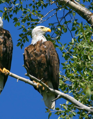 Bald Eagle Picture for 240x320