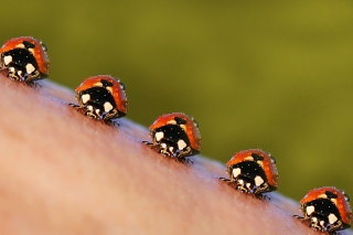 Ladybugs Wallpaper for Android, iPhone and iPad