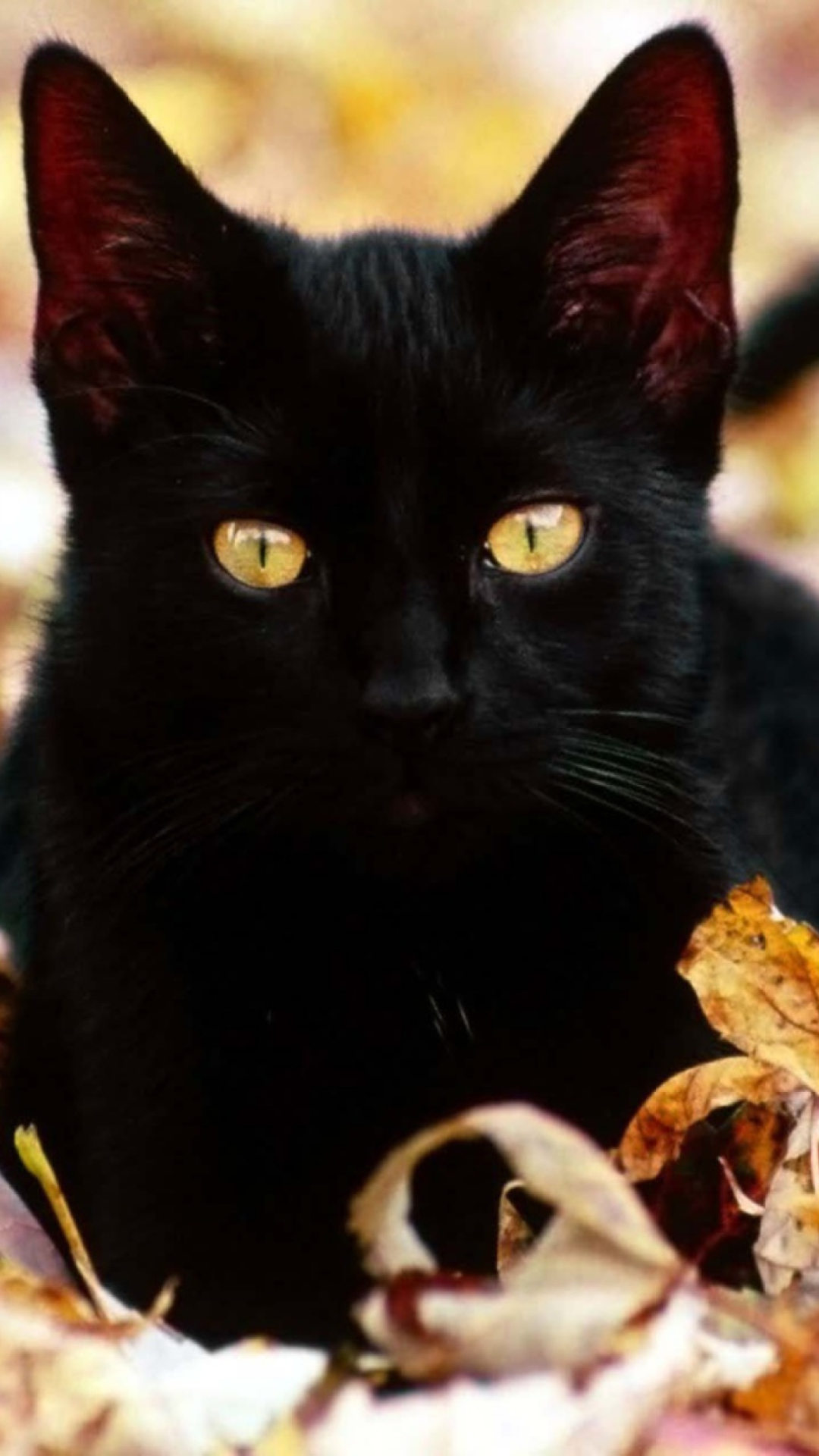 Девушке лет, картинки с черными котами на телефон