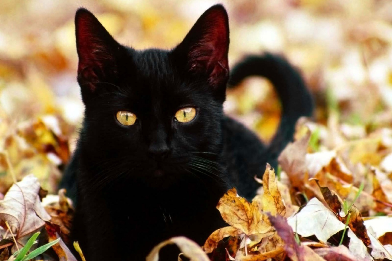 Картинка с черной кошкой, удачный