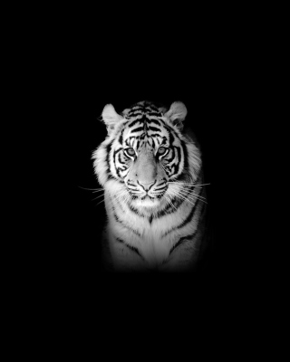 Free Tiger Picture for 768x1280