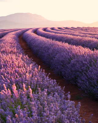 Lavender Photoshoot Wallpaper for 240x320