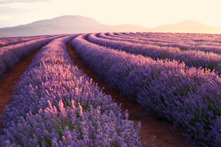 Lavender Photoshoot Wallpaper for Widescreen Desktop PC 1600x900
