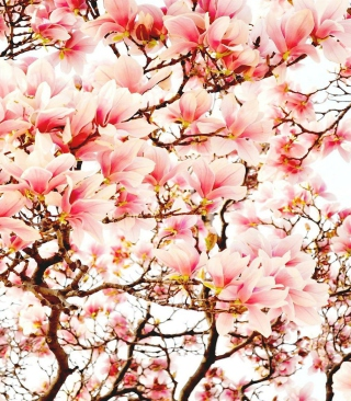 Pink Spring Flowers Background for 320x480