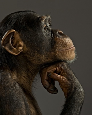 Chimpanzee Modeling Wallpaper for 240x320