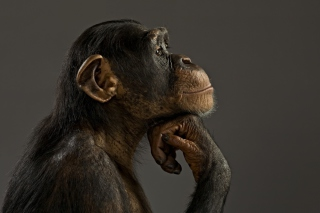 Free Chimpanzee Modeling Picture for 1920x1080