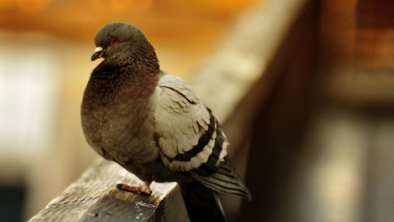 Fat Dove