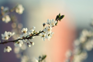 Spring Tree Blossoms sfondi gratuiti per cellulari Android, iPhone, iPad e desktop