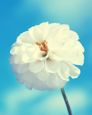 White Flower Picture for Nokia Asha 306