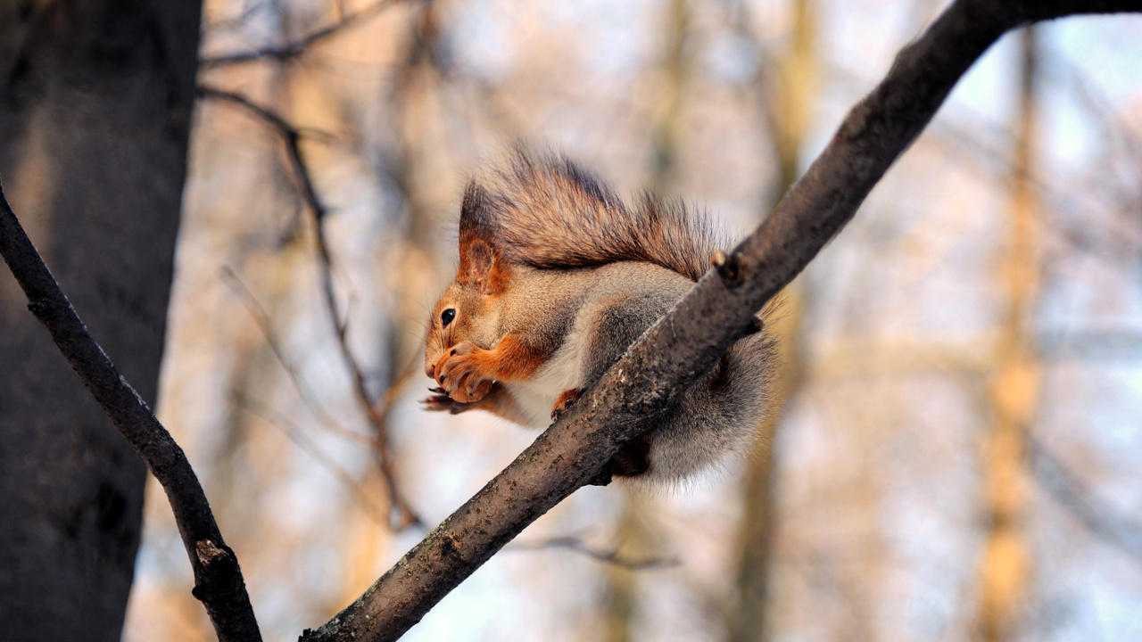 Screenshot №1 pro téma Squirrel with nut 1280x720