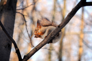 Squirrel with nut Wallpaper for Android, iPhone and iPad