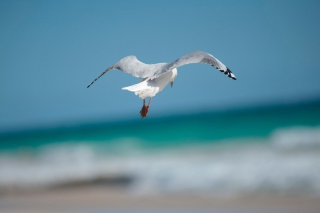 Seagull Flying Picture for Android, iPhone and iPad