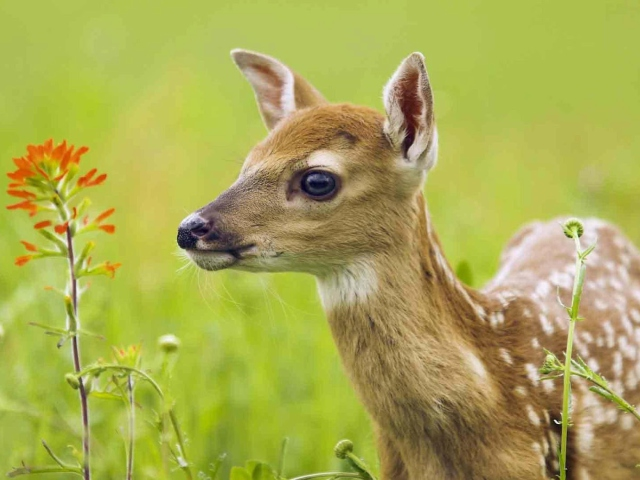 Young Deer para Sony Ericsson XPERIA X8