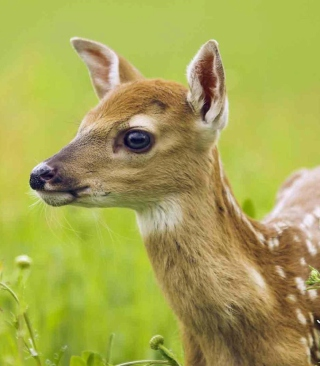 Free Young Deer Picture for Nokia C1-01