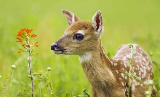 Young Deer Wallpaper for Android, iPhone and iPad