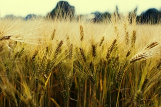 Golden Wheat Background for Android, iPhone and iPad