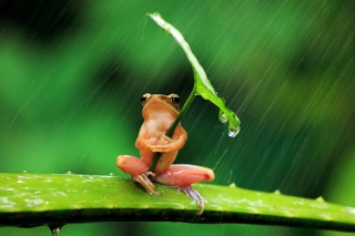 Funny Frog Hiding From Rain sfondi gratuiti per cellulari Android, iPhone, iPad e desktop