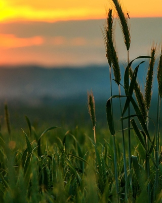 Wheat Sunset Picture for 240x320