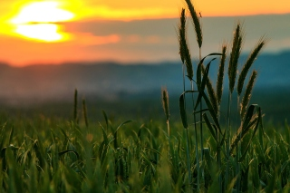 Wheat Sunset Background for Android, iPhone and iPad