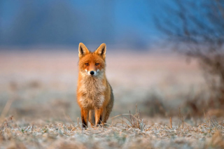 Orange Fox In Field - Obrázkek zdarma