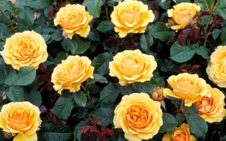 Yellow Roses sfondi gratuiti per cellulari Android, iPhone, iPad e desktop