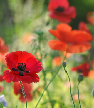 Free Poppies Picture for iPhone 5S