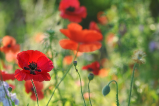Poppies Background for 960x800