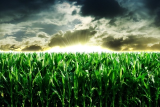 Green Corn Background for Android, iPhone and iPad