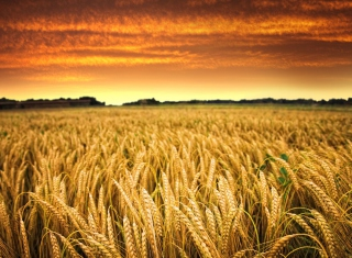 Wheat Field Wallpaper for Android, iPhone and iPad