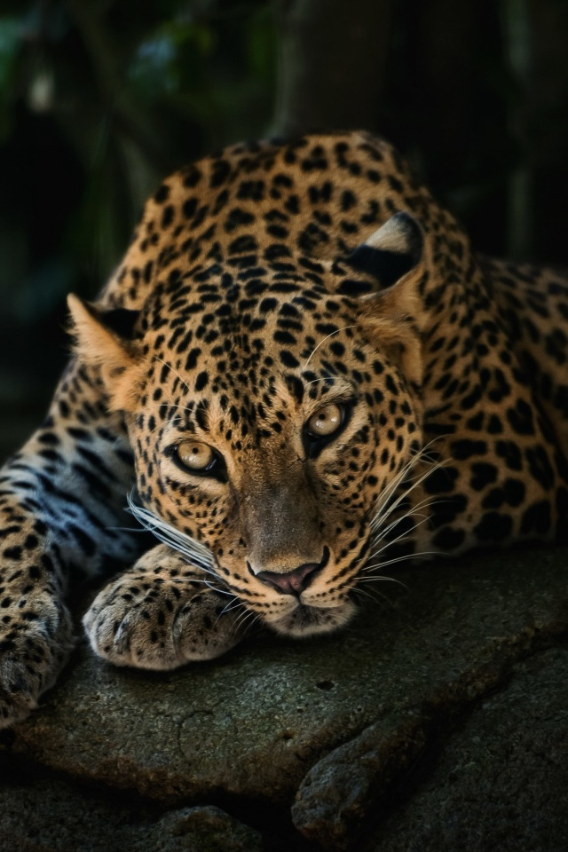 Sfondi Leopard in Night HD 640x960