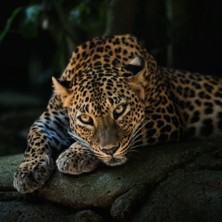 Leopard in Night HD sfondi gratuiti per 1024x1024