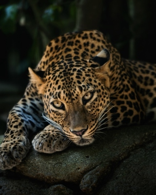 Leopard in Night HD Background for Nokia Asha 305