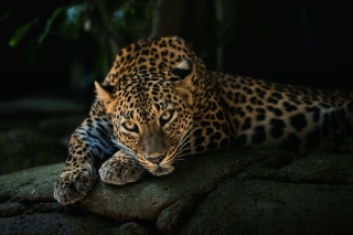 Leopard in Night HD Wallpaper for Android, iPhone and iPad