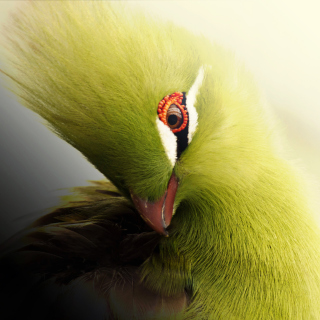 Turaco African Bird Picture for iPad Air