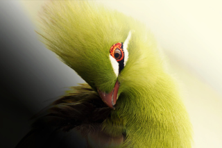 Turaco African Bird Wallpaper for Android, iPhone and iPad