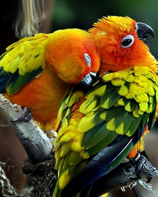 Parrot Hug Wallpaper for Nokia C1-01