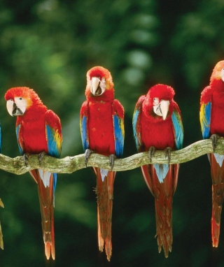 Green Winged Macaw Background for Nokia Asha 306