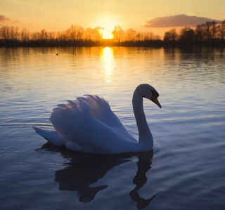 White Swan In The Sunset - Obrázkek zdarma pro iPad Air