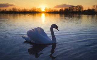 White Swan In The Sunset Wallpaper for Android, iPhone and iPad