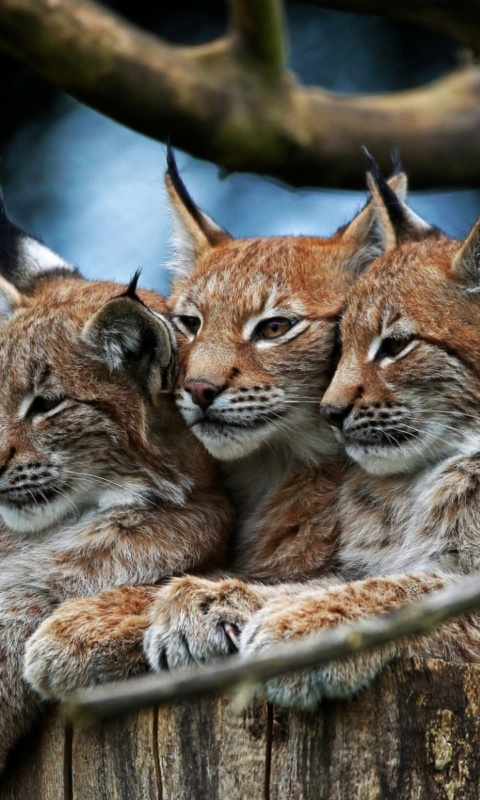 Lynx Family wallpaper 480x800
