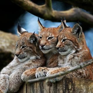 Lynx Family Background for LG KP105