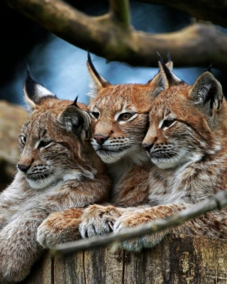 Lynx Family Wallpaper for Nokia Asha 306