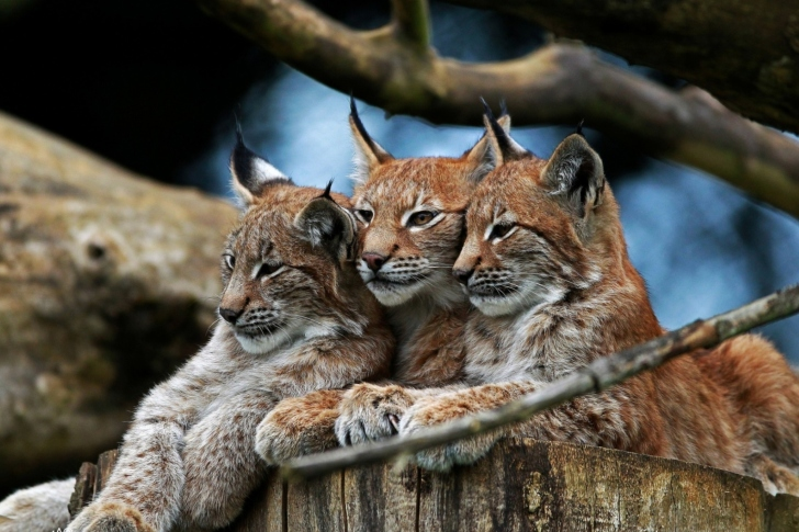 Lynx Family wallpaper