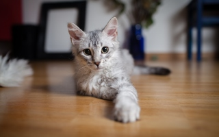 Cute Gray Kitten sfondi gratuiti per Android 960x800