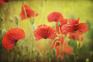 Red Poppies Picture for Android, iPhone and iPad