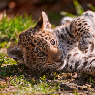 Free Jaguar Cub Picture for LG KP105