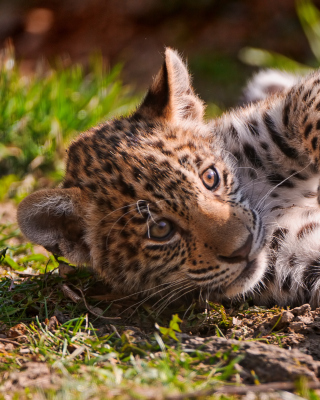 Jaguar Cub sfondi gratuiti per iPhone 6 Plus